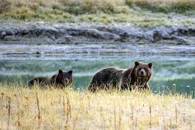 Threatened brown bears